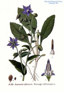 Bourrache-Borrago-officinalis