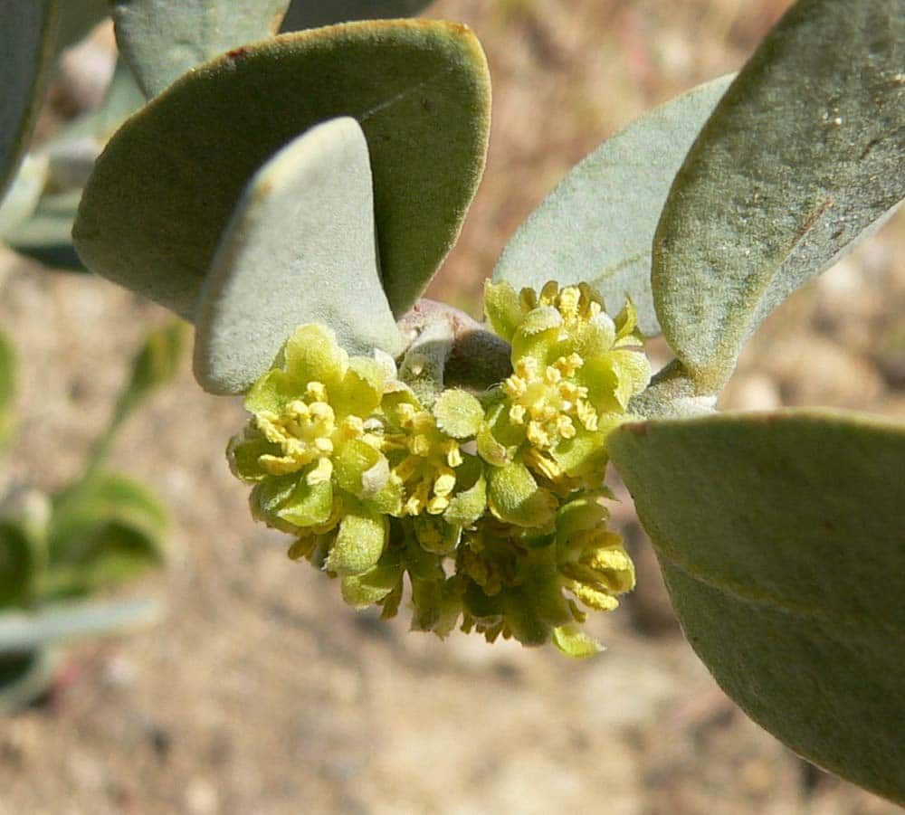 Simmondsia-chinensis-jojoba
